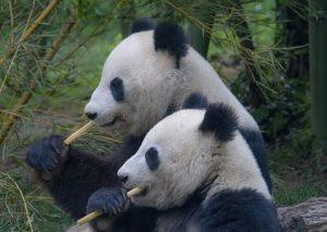 pandas couple